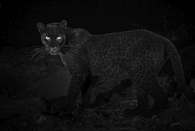 ВАфрике впервые засто лет засняли редчайшего черного леопарда