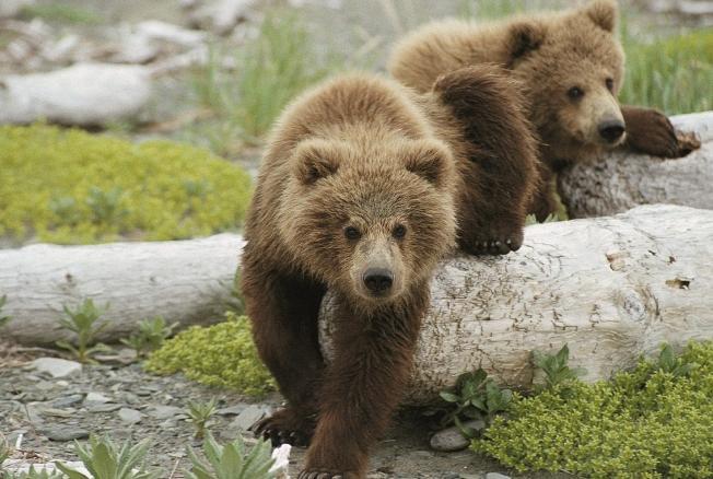 Медвежата ворвались вдом иобчистили холодильник