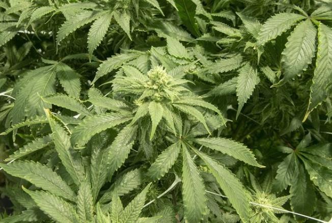 Гаи и марихуана сколько марихуана держится в моче после разового употребления