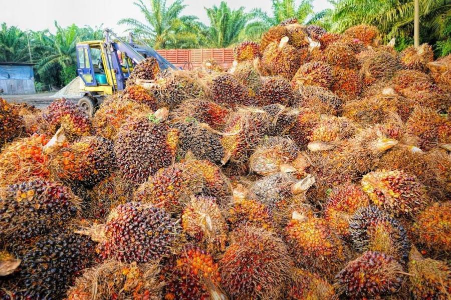 Плоды пальмового дерева.