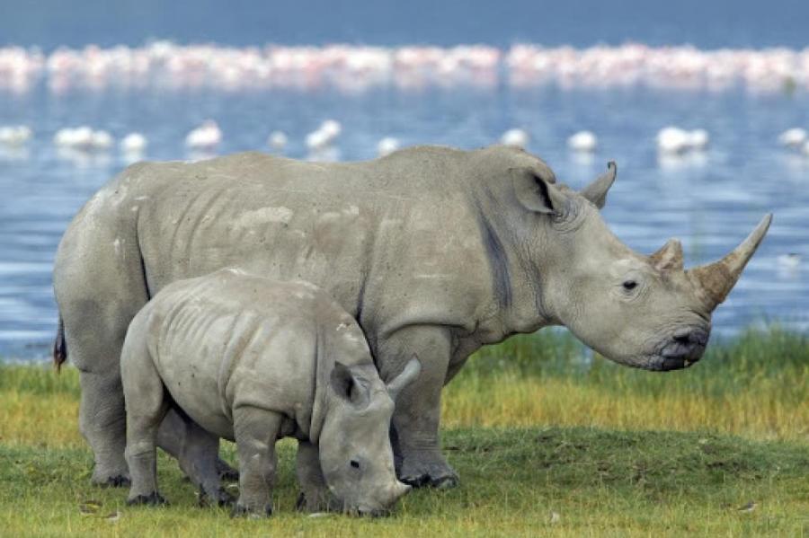 Белые носороги.