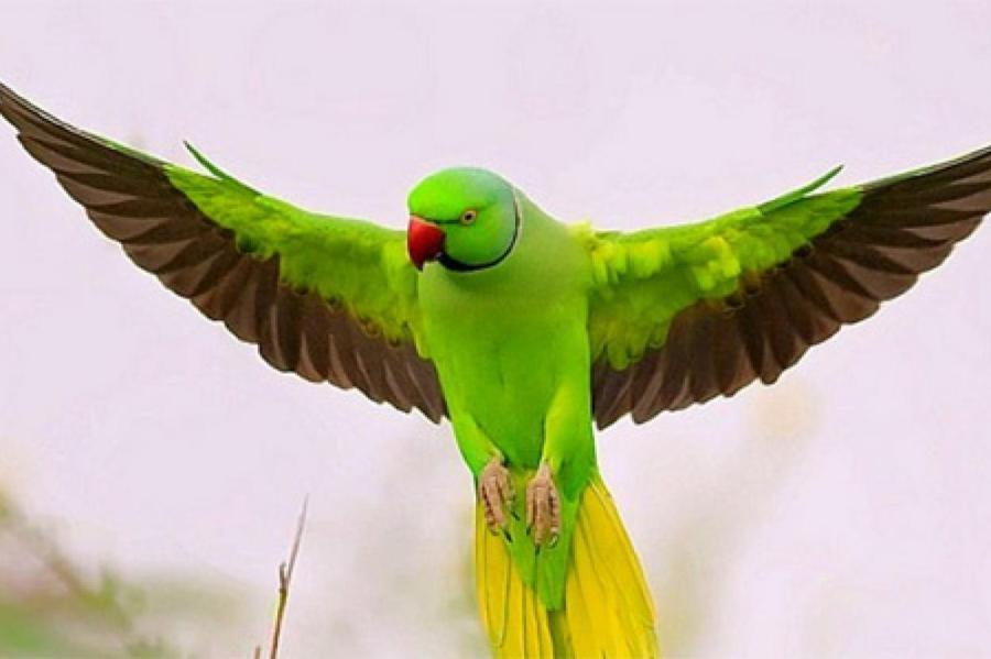 Кольчатый попугай.