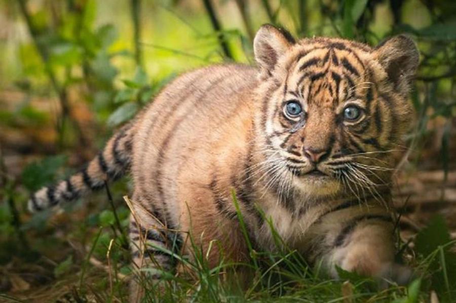 Суматранский тигрёнок.