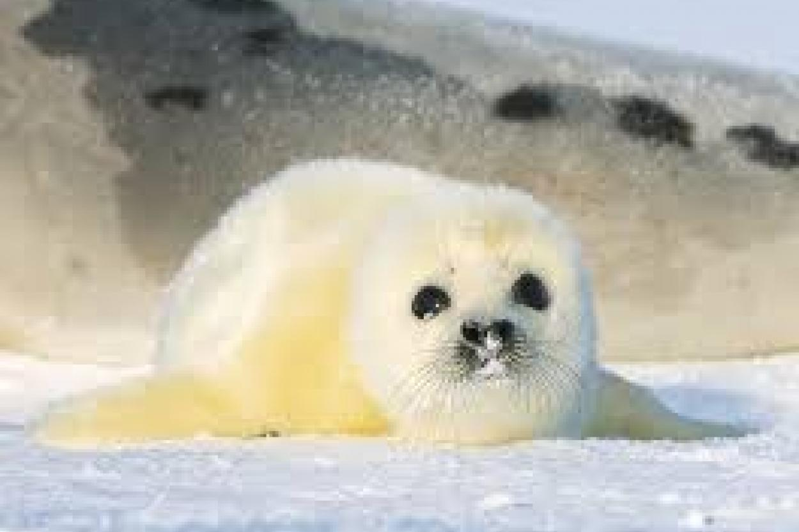 Детёныш тюленя.