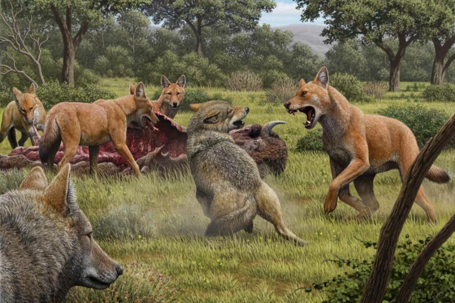 Так в представлении художника выглядели ужасные волки, отгоняющие серых волков от туши бизона.