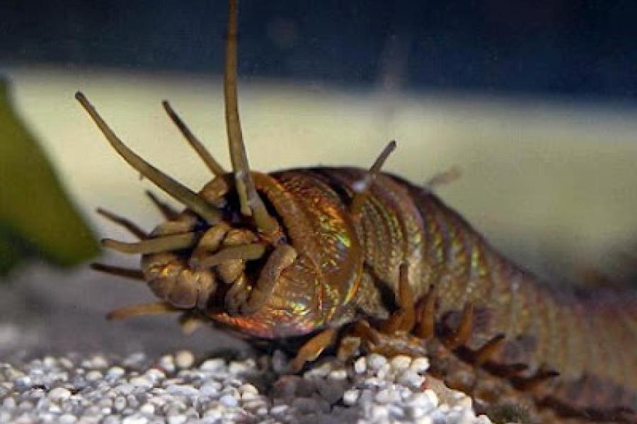 Современный гигантский морской червь Eunice aphroditois.