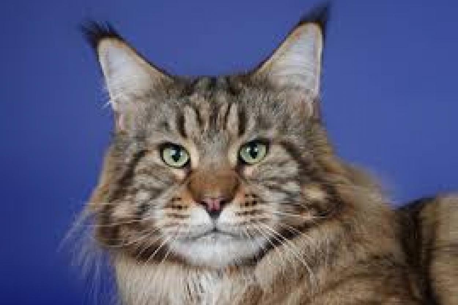 Кот породы мейн-кун.