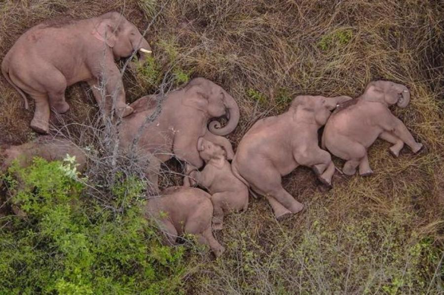 Стадо слонов отдыхает после солидного марш-броска.