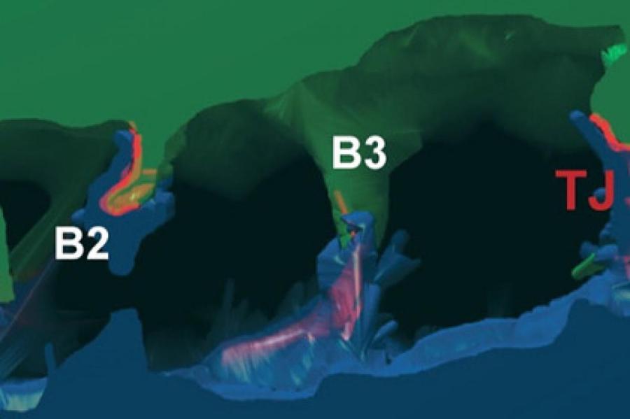 Изображение: Belicova et al. / Journal of Cell Biology
